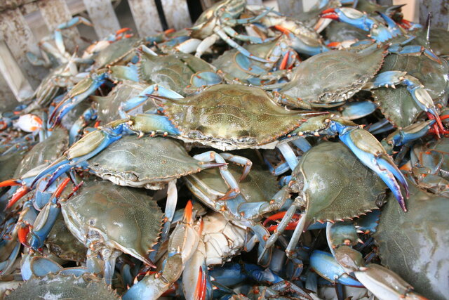 The Blue Crab Population is Affected