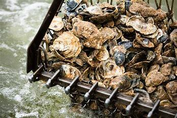 Oyster Population Reducing