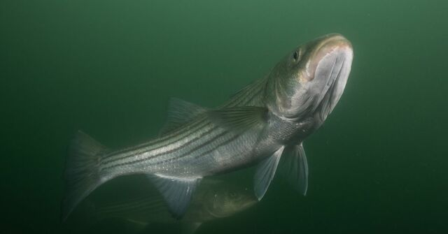 Striped Bass Recover
