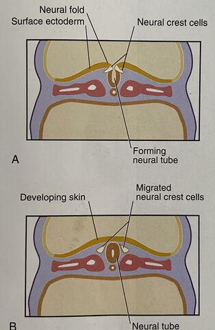 Neural Folds