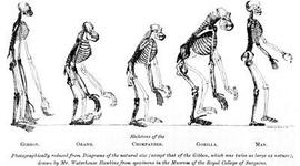 Arbre filogenètic de l'evolució dels homínids timeline