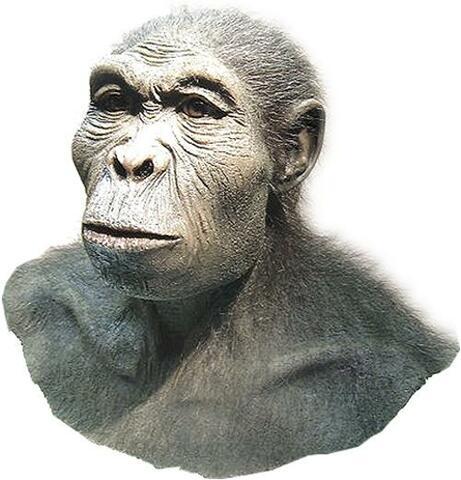 L'Homo habilis, el primer Homo (continuació)