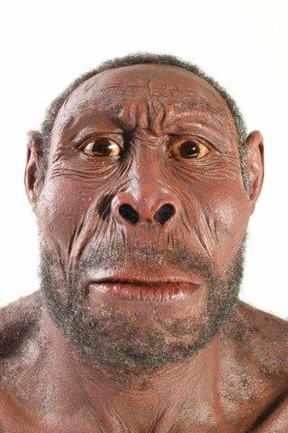 Homo erectus 2