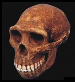 Homo Erectus. L'home que va sortir de l'Àfrica
