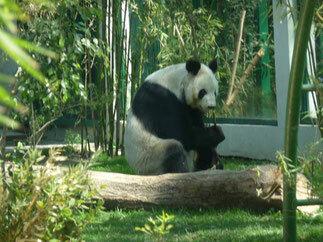 Primer oso panda en México