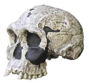Homo hàbilis