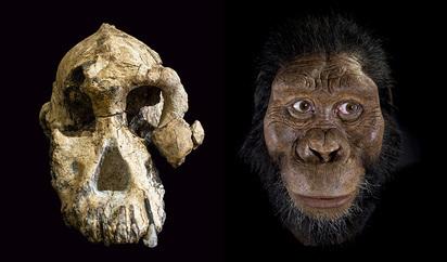 Australopithecus afarensis (Capacitat cerebral)