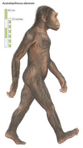Australopithecus afarensis ( Estatura)