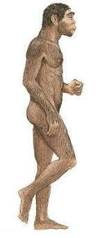 Homo erectus (Estatura)