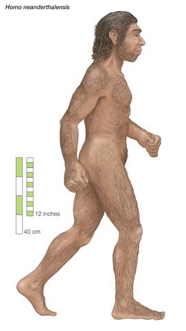 Homo neanderthalensis (Estatura)
