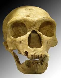 Homo erectus (Capacitat cerebral)