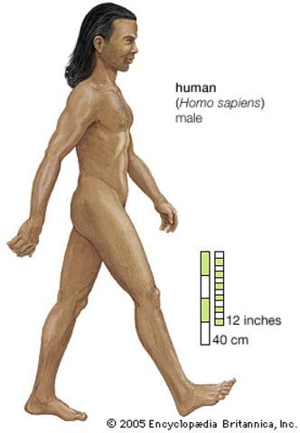 Homo sapiens (Estatura)
