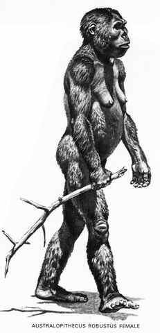 Paranthropus (australopithecus robusts)