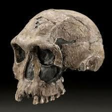Crani Homo Habilis
