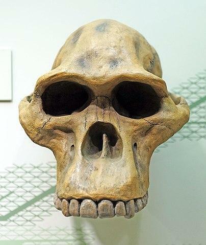 Crani Australophitecus Robustus