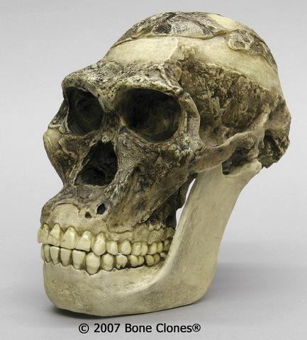 Crani Paranthropus (australopithecus robusts)