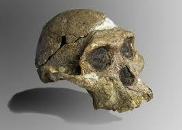 Crani Australophitecus afarensis