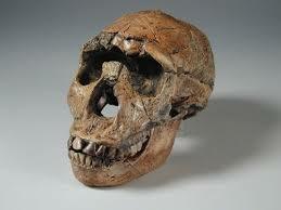 Crani Homo ergaster