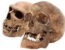 Crani Homo Antecessor