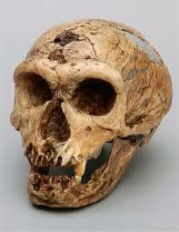Crani Homo  Neanderthalensis