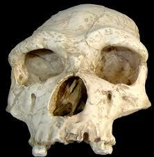 Crani Homo erectus