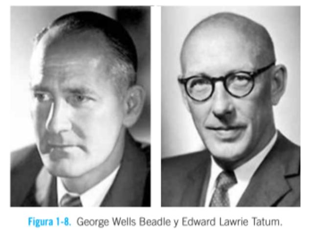 George Wells Beadle y Edward Lawrie Tatum Postularon por primera vez dicha  correlación como «un gen, una enzima».