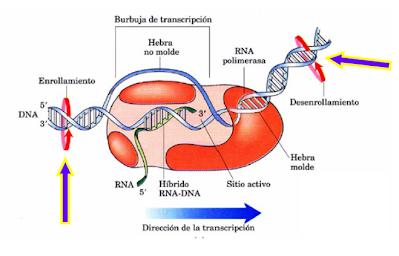 S. B. Weiss describe la síntesis del RNA por una RNA polimerasa