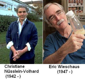 Christiane Nüsslein-Volhard y Eric Francis Wieschaus demuestran que una  batería de genes afectaban a la segmentación de la mosca