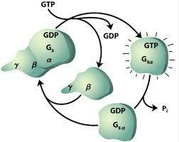 A. G. Gilman y M. Rodbel  reciben galardon por descubrir proteínas G