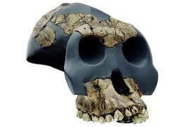 Australopithecus garhi.