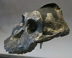 Paranthropus (Australopithecus) Aethiopicus.