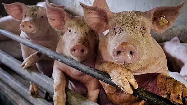 El desastre de la porcicultura en el Valle de Perote, Ver.