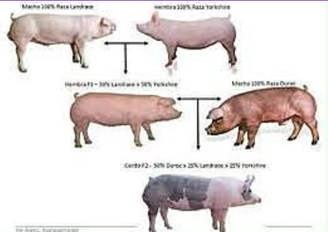 Empiezan a crear razas de cerdos