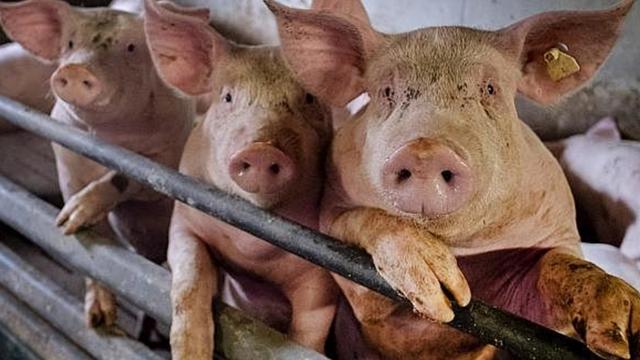 El desastre de la porcicultura en el valle de perote, ver