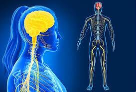 la estructura del sistema nervioso