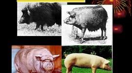 Evolución del cerdo hasta nuestros días. timeline