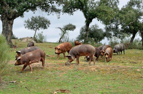 Los cerdos fueron pastoreados.