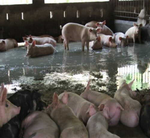 Los primeros porcinos en malas condiciones.