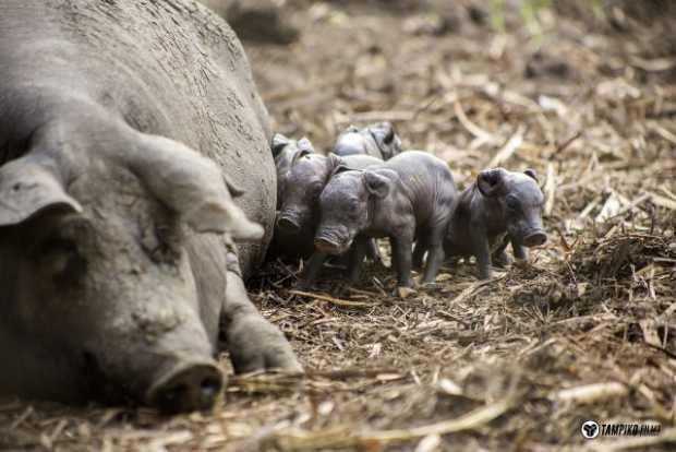 Llegada del cerdo a México.