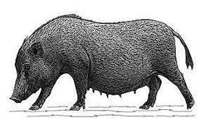 Origen de la domesticación del cerdo