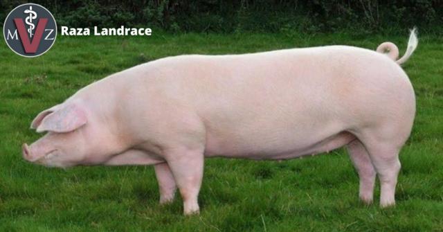 Cerdo Landrance.