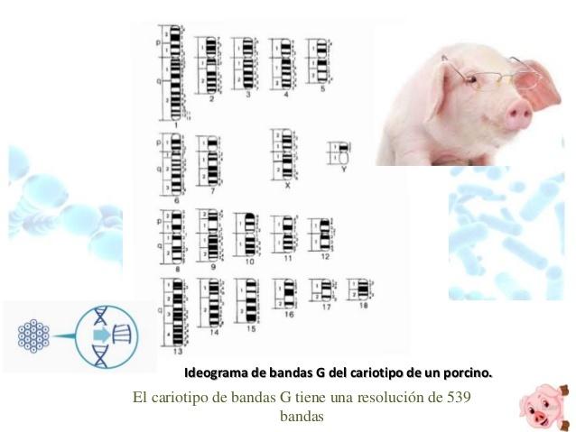PACE Y COL DESCRIBIERON TÉCNICA DE IDENTIFICACIÓN DE PARES DE CROMOSOMAS DEL CERDO