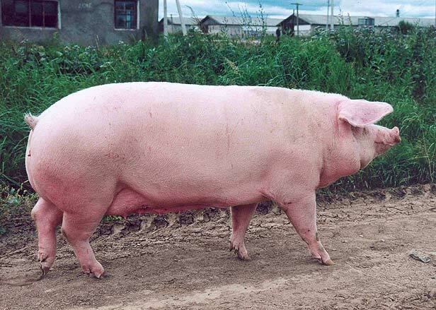 Cerdo Blanco Belga