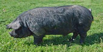 Cerdos Mediterráneos