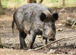Cerdos Nórdicos