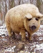 Ejemplares de Cerdos Mangalica