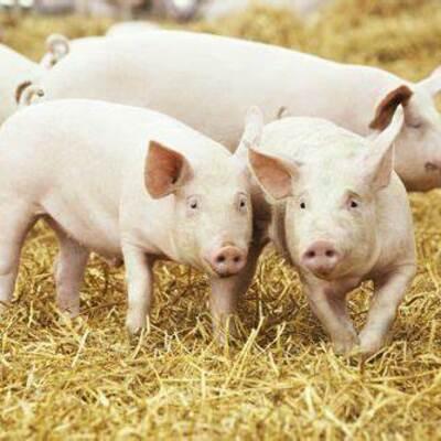 Evolución del Cerdo Hasta Nuestros Días (Antecedentes Históricos)-182C24270-  Torres Alvarez Maria Fernanda timeline