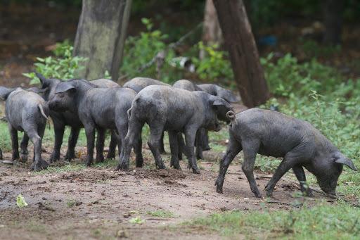 La incorporación del Cerdo