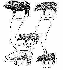 División de porcinos en 3 grupos.
