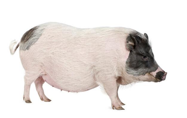 Mini cerdo Göttingen.